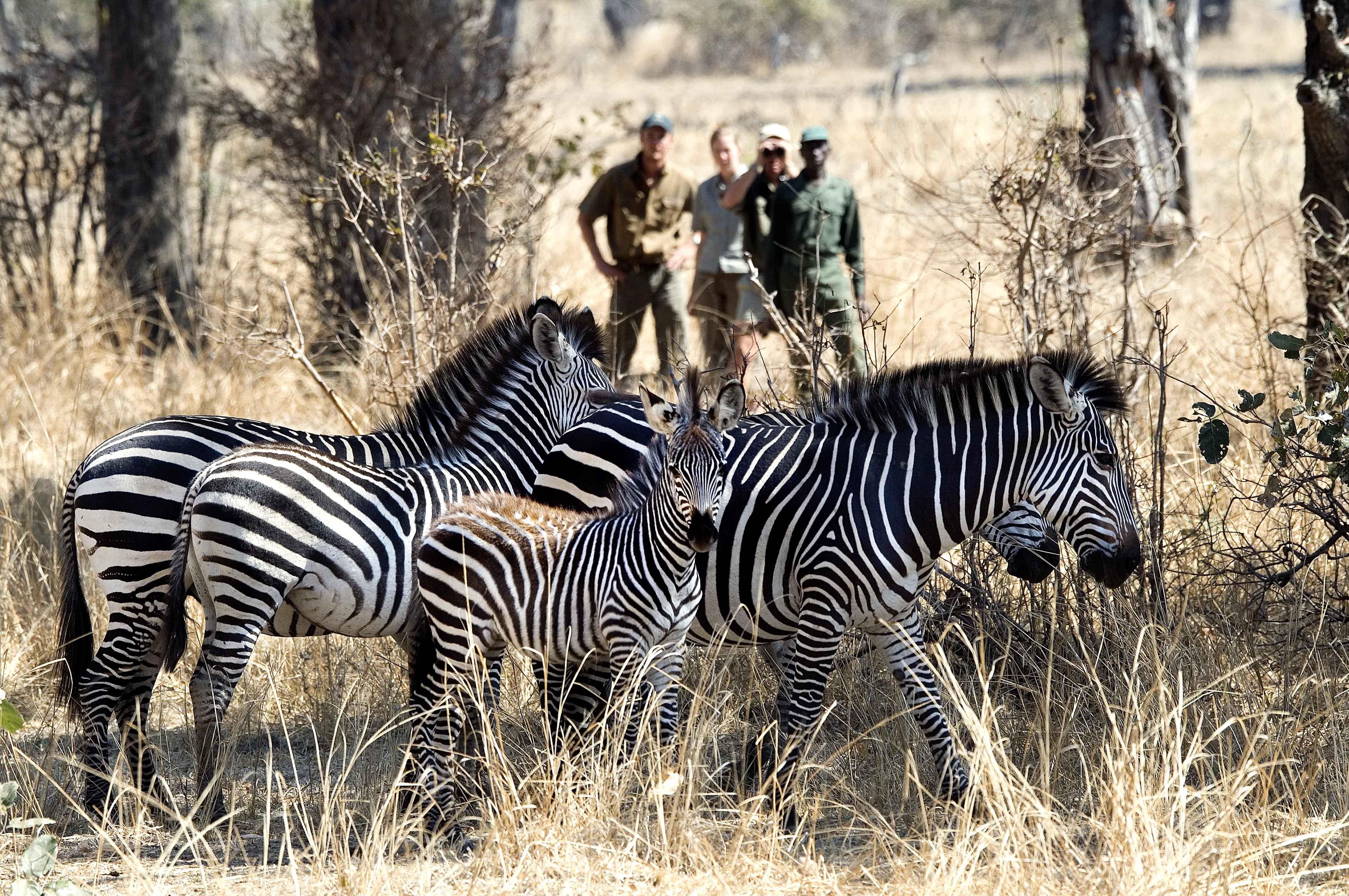three people on a walking safari viewing zebra