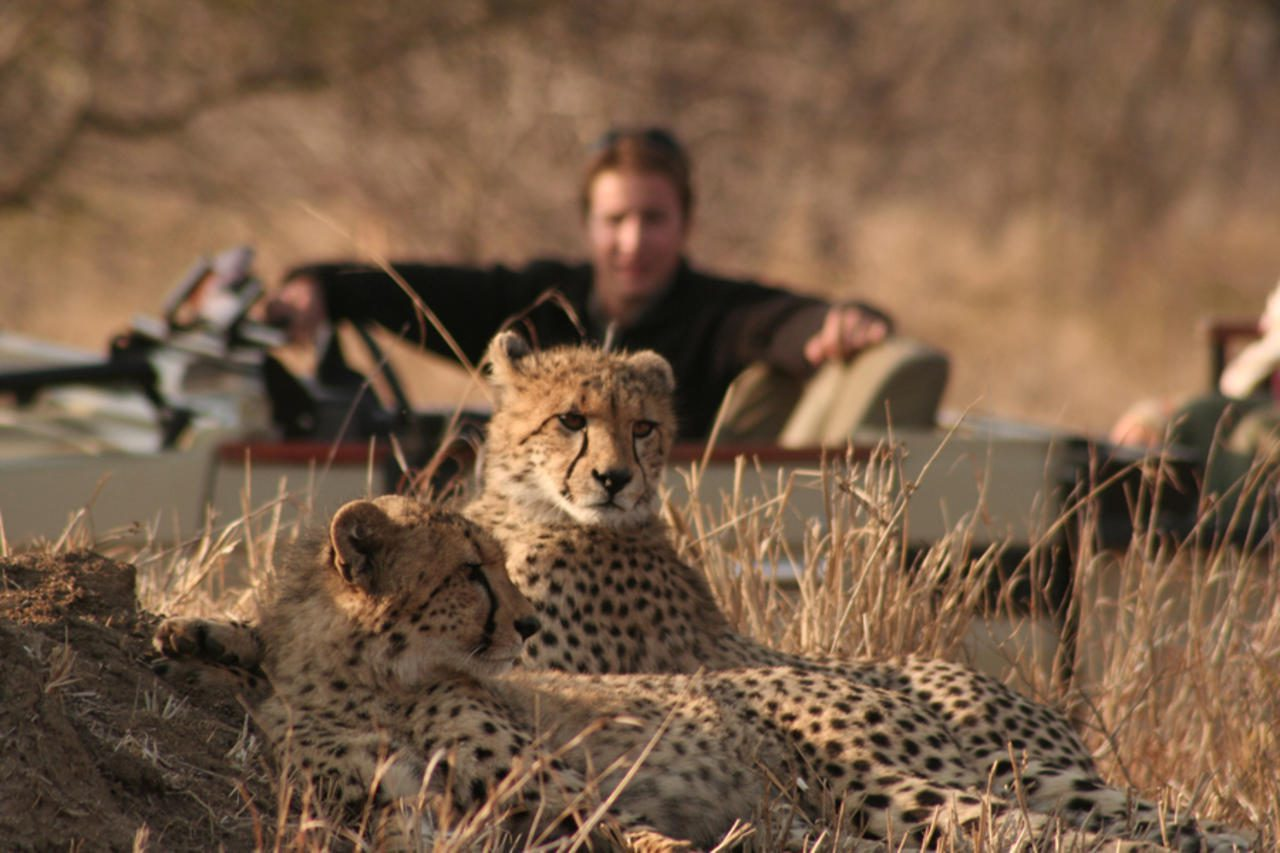 two cheetahs laying down with game drive vehicle and guide in the background