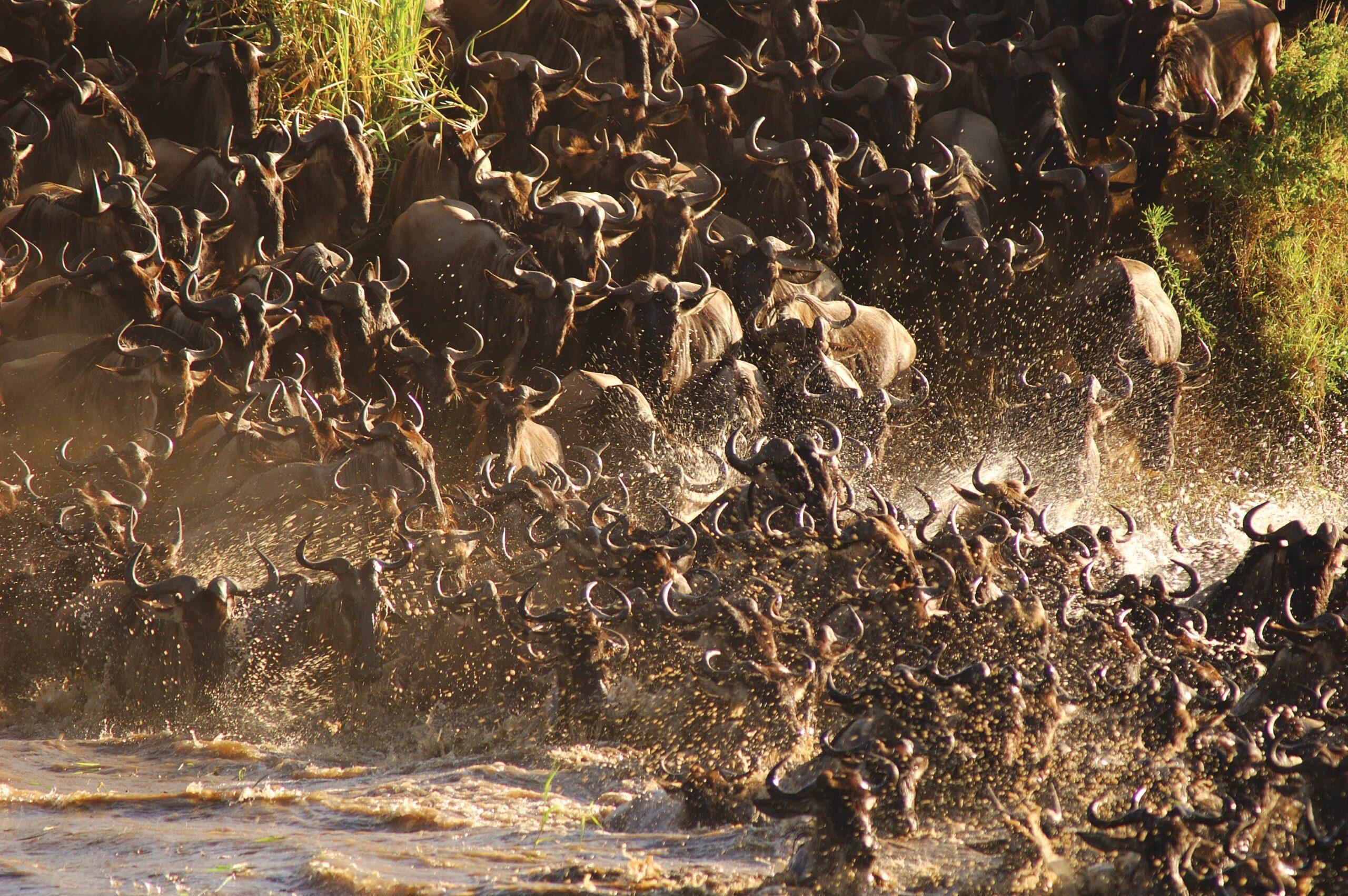 herd of wildebeest crossing the Mara River