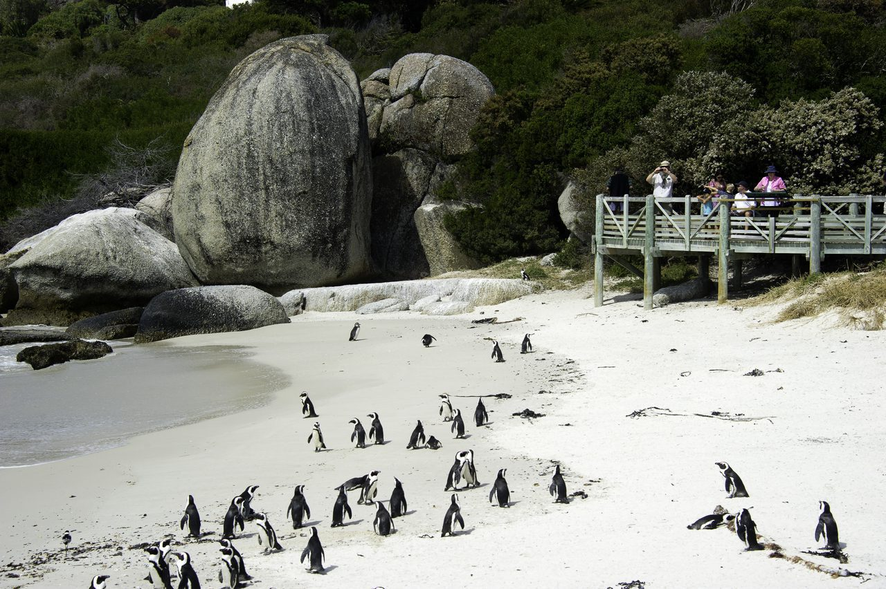 about 25 penguins on the beach at boulders beach in cape town with tourists in the back taking photos