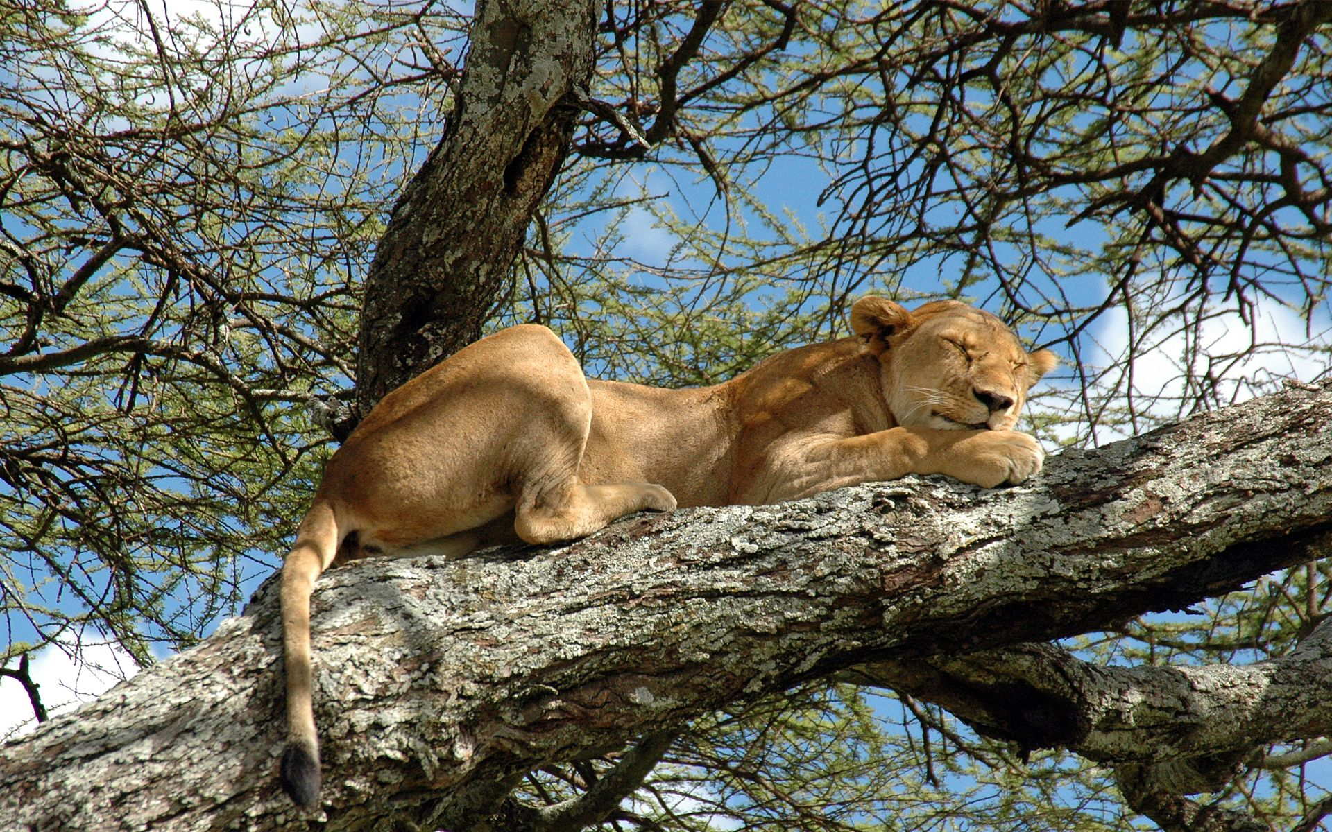 lion sleeping on a branch high in a tree in Lake Manyara