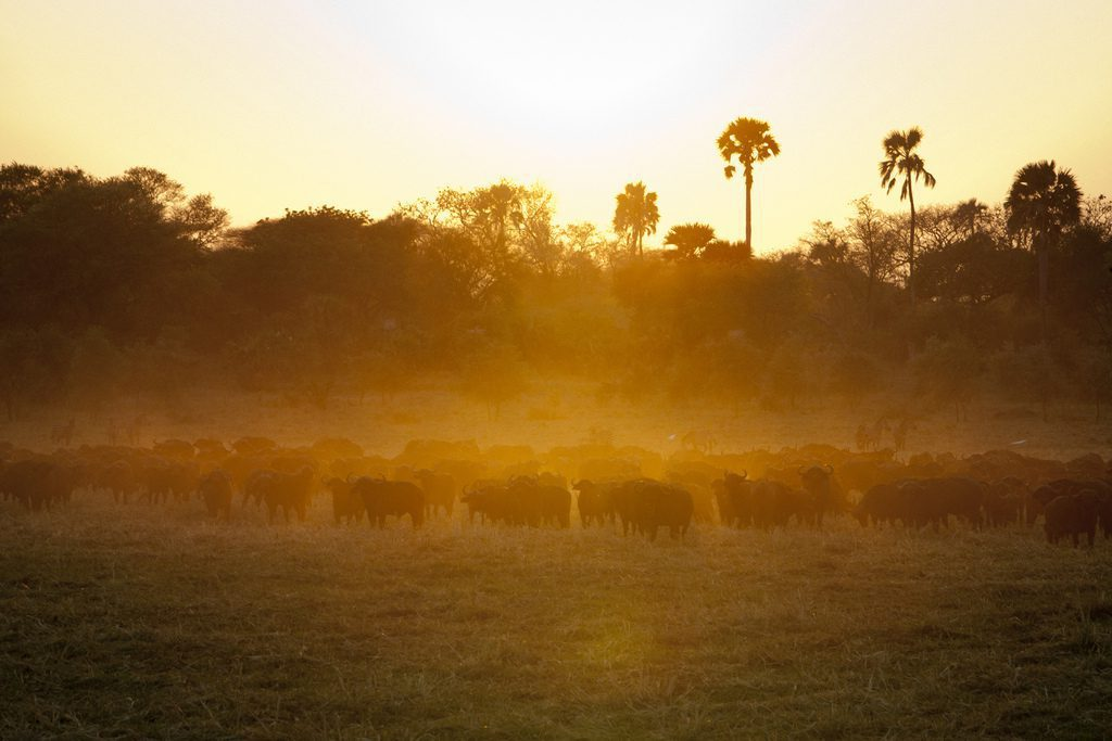 herd of buffalo walking through the dusk sunlight with thick trees and tall palm trees in the distance