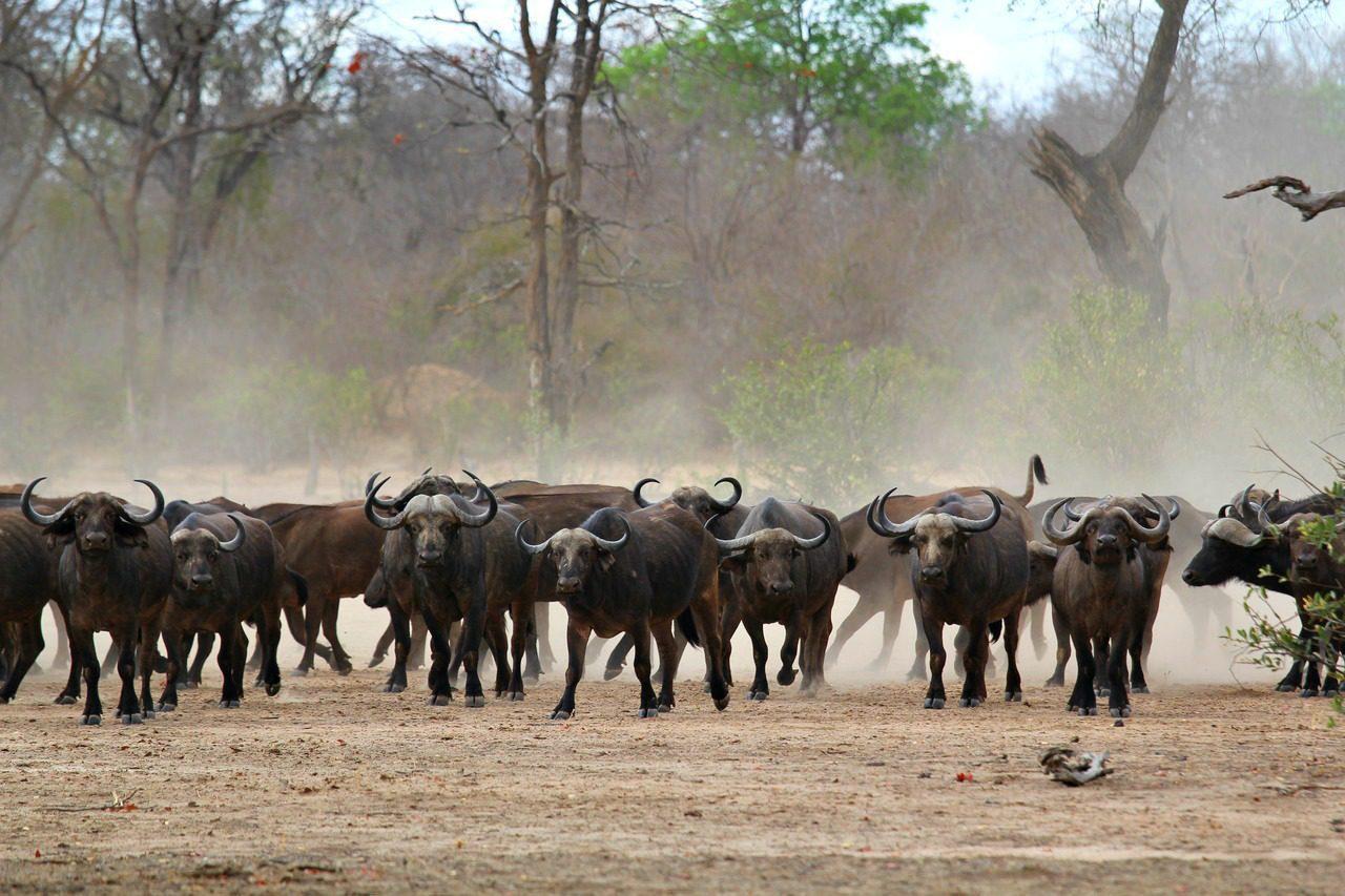 herd of buffalo in dust