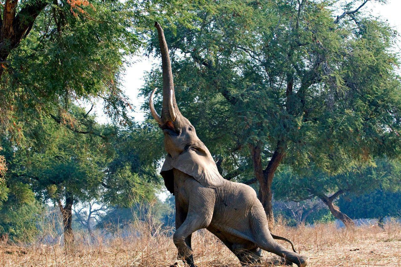 elephant feeding under an Ana tree in an open field in Mana Pools seen on a Zimbabwe safari