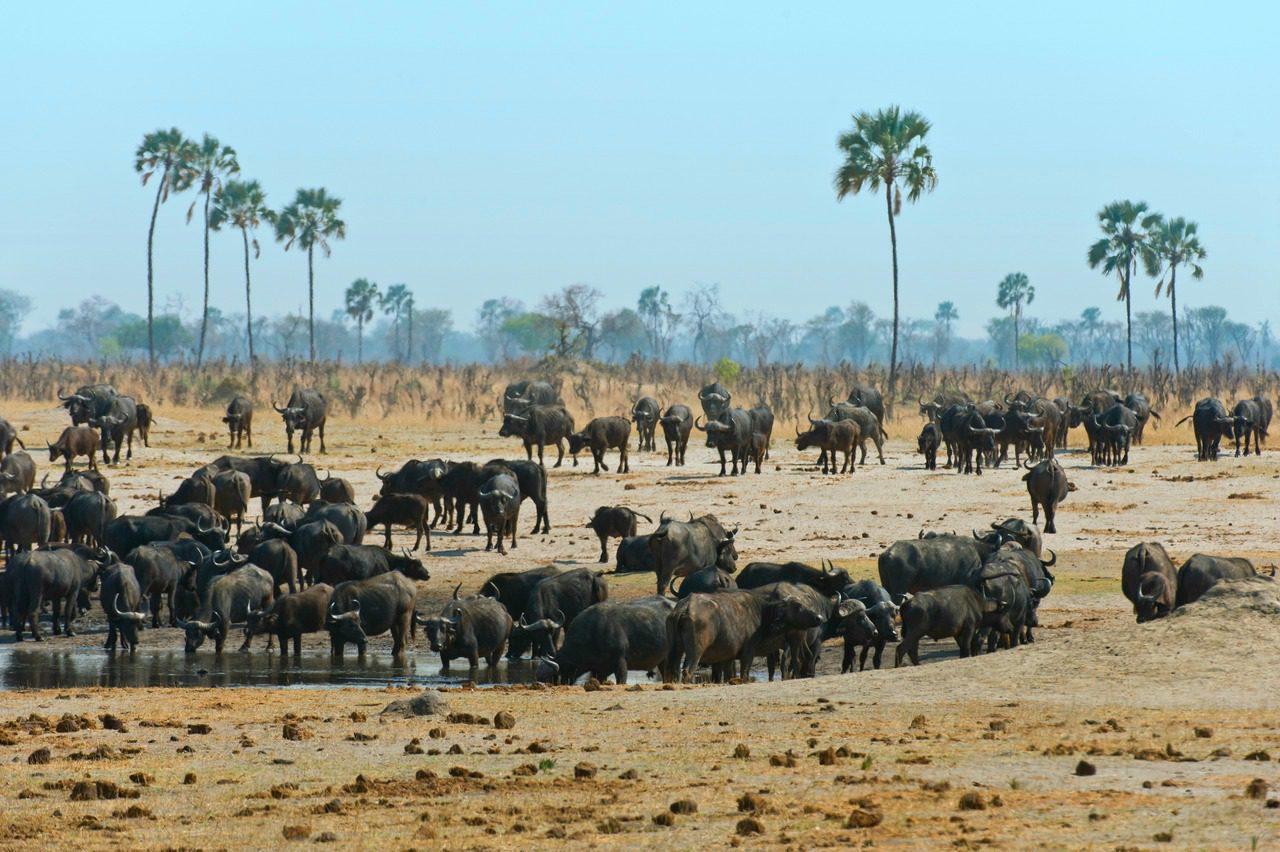 large herds of buffalo in hwange