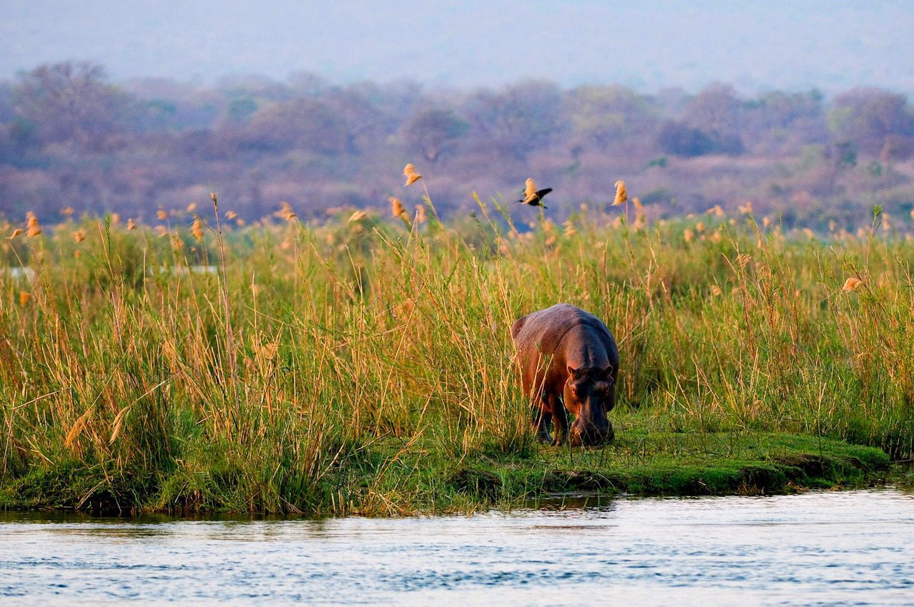 hippo near the water with the zambian highlands in the background