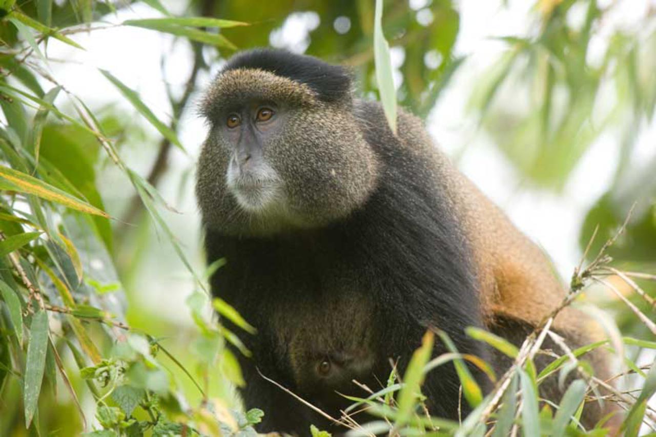 Golden monkey close up with green leaves around it seen on Rwanda safari