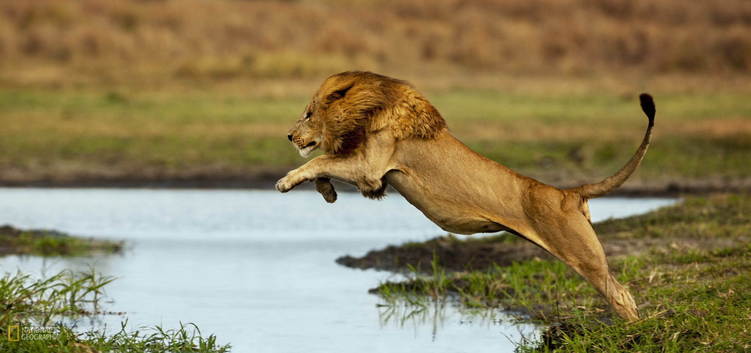 large male lion leaping across the water of the Okavango Delta on Pan-African safari