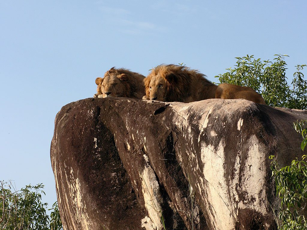two lions lying down on the top of a rocky outcropping with blue skies overhead