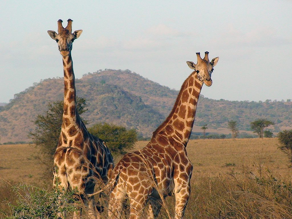 two Rothschild giraffes with the light of the setting sun on their bodies