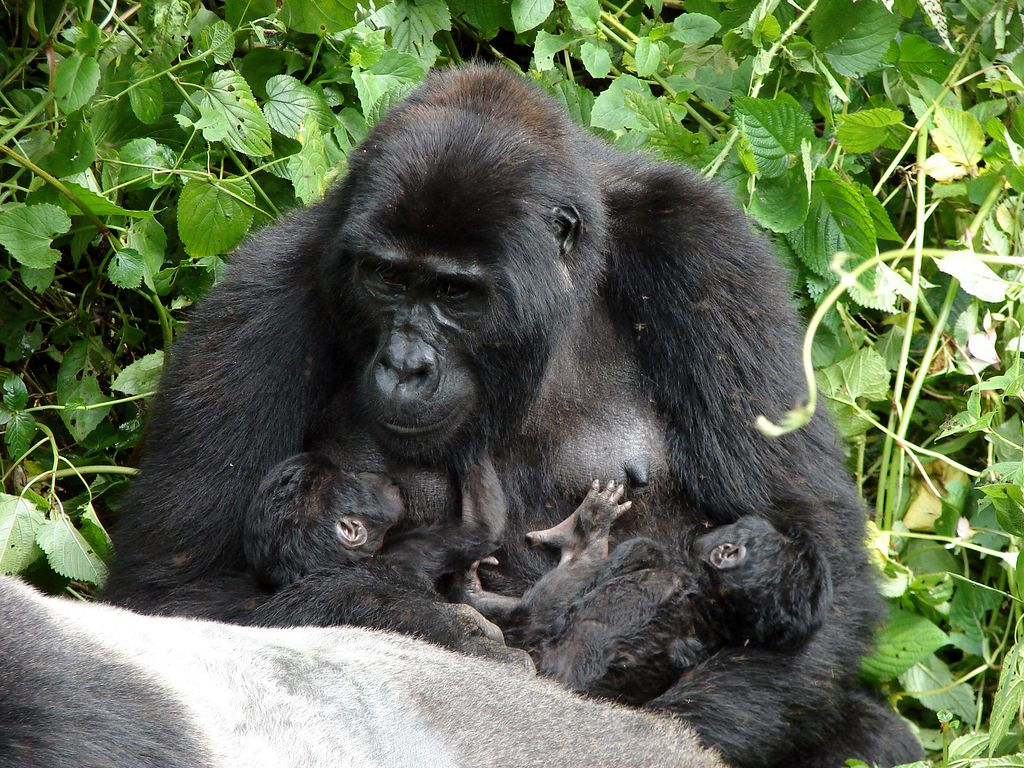 Mother and twin gorilla babies seen while gorilla viewing in Africa