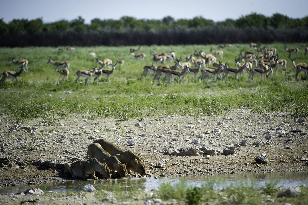 Lions and antelope Grazing in Etosha National Park - Namibia