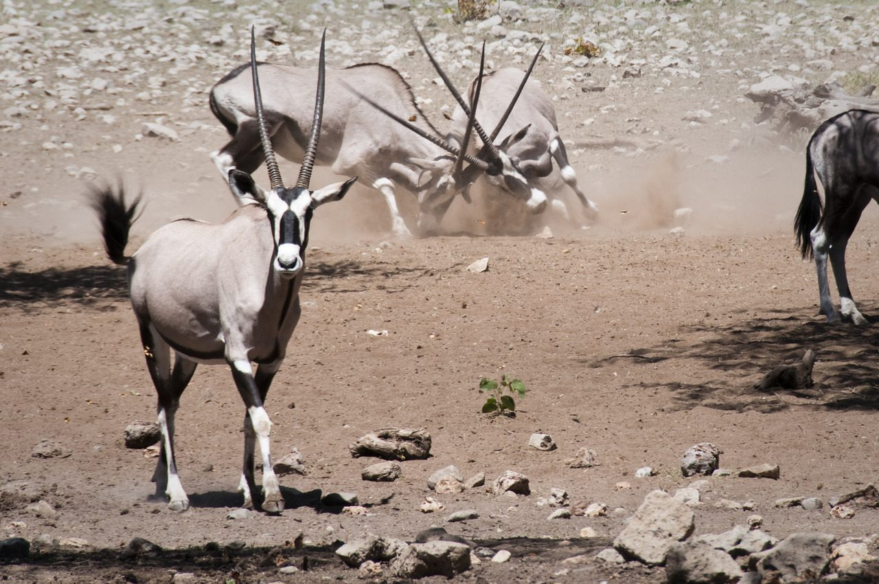 oryx fighting at Ongava on our best Namibia safari