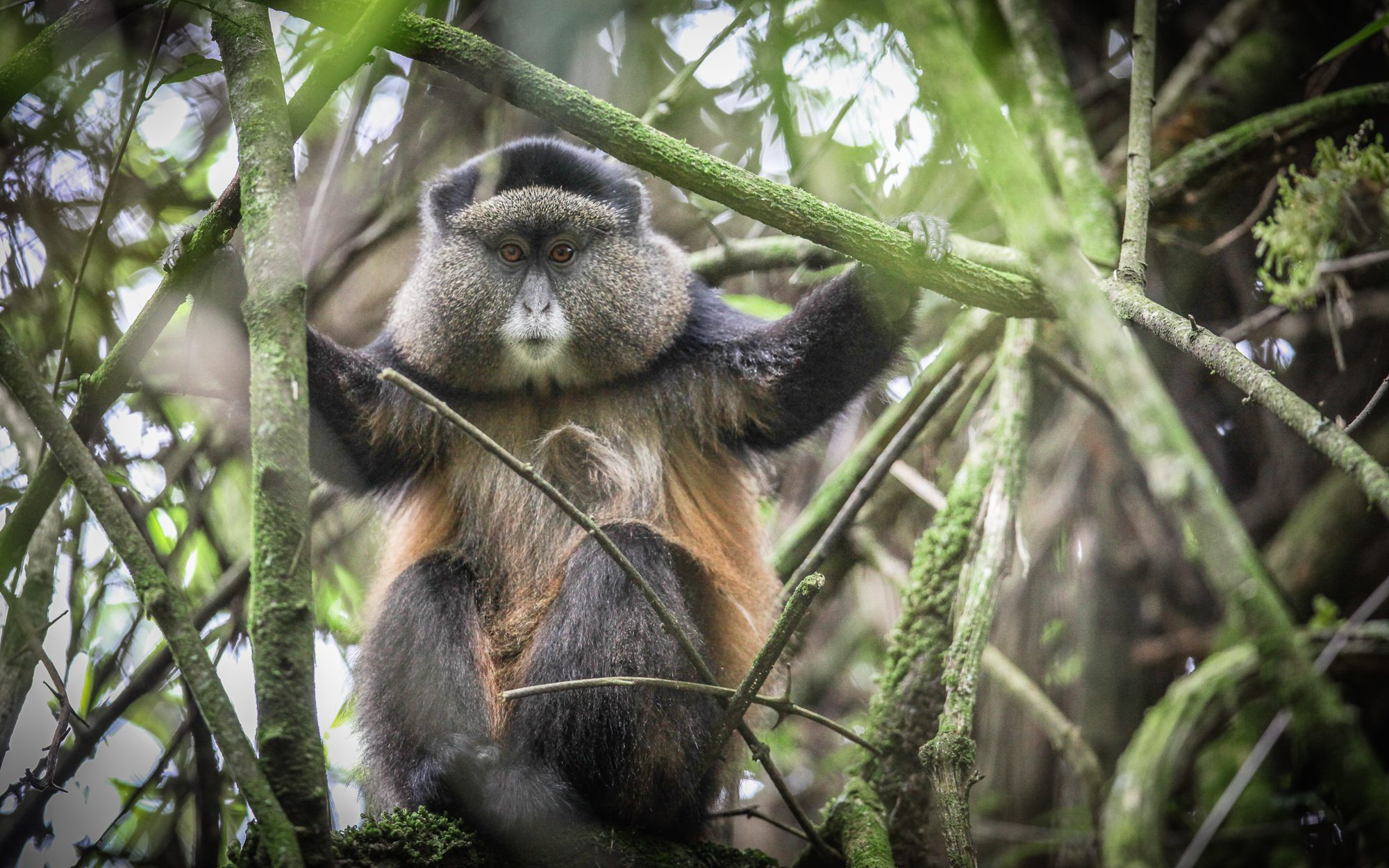a golden monkey holding onto and peering through bamboo reeds in Mgahinga