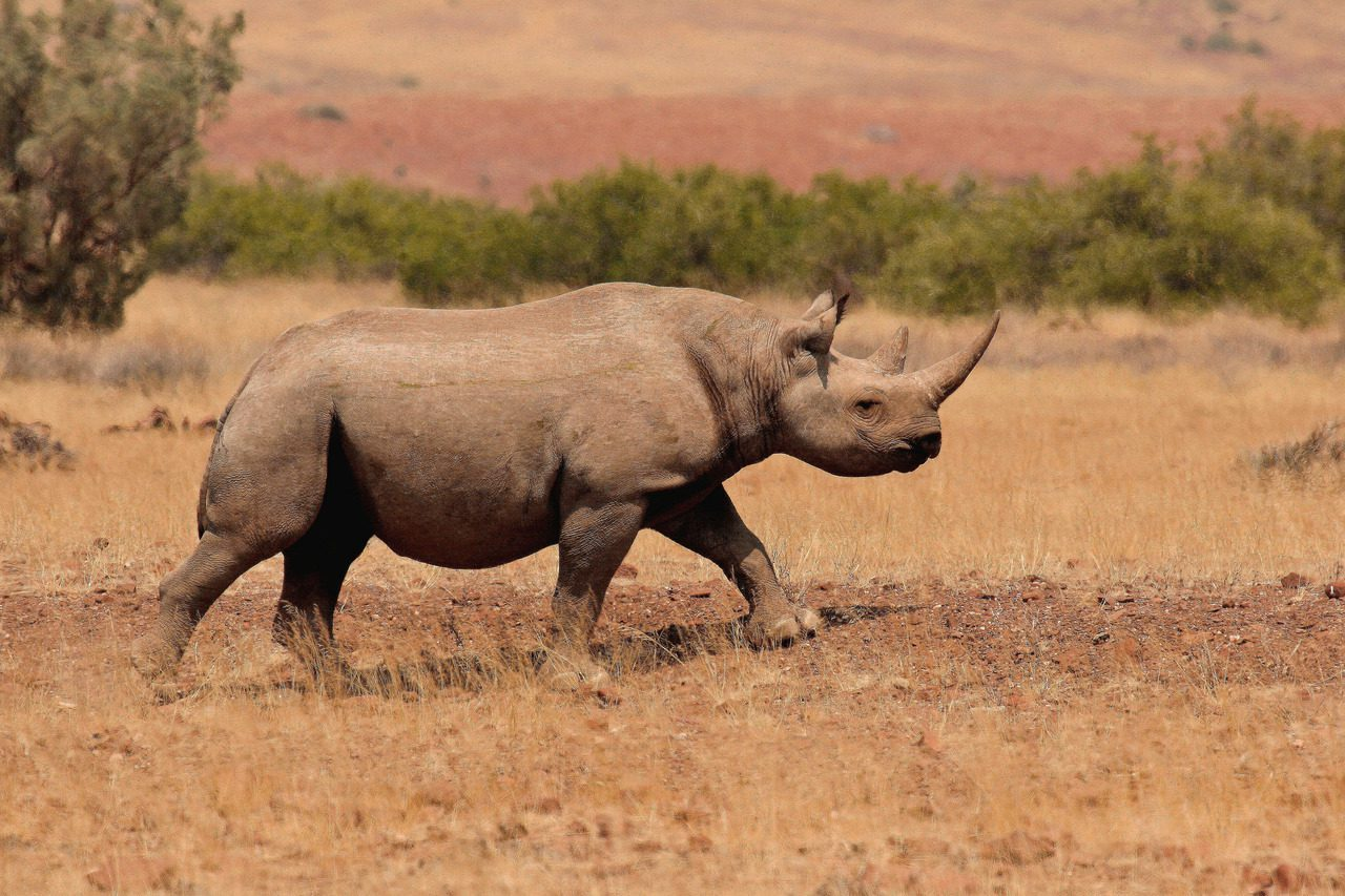 Desert adapted rhino in golden brush, likely Damaraland