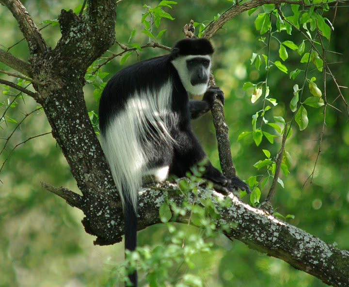 black and white colobus monkey perched on a branch in the lush green canopy of Kibale