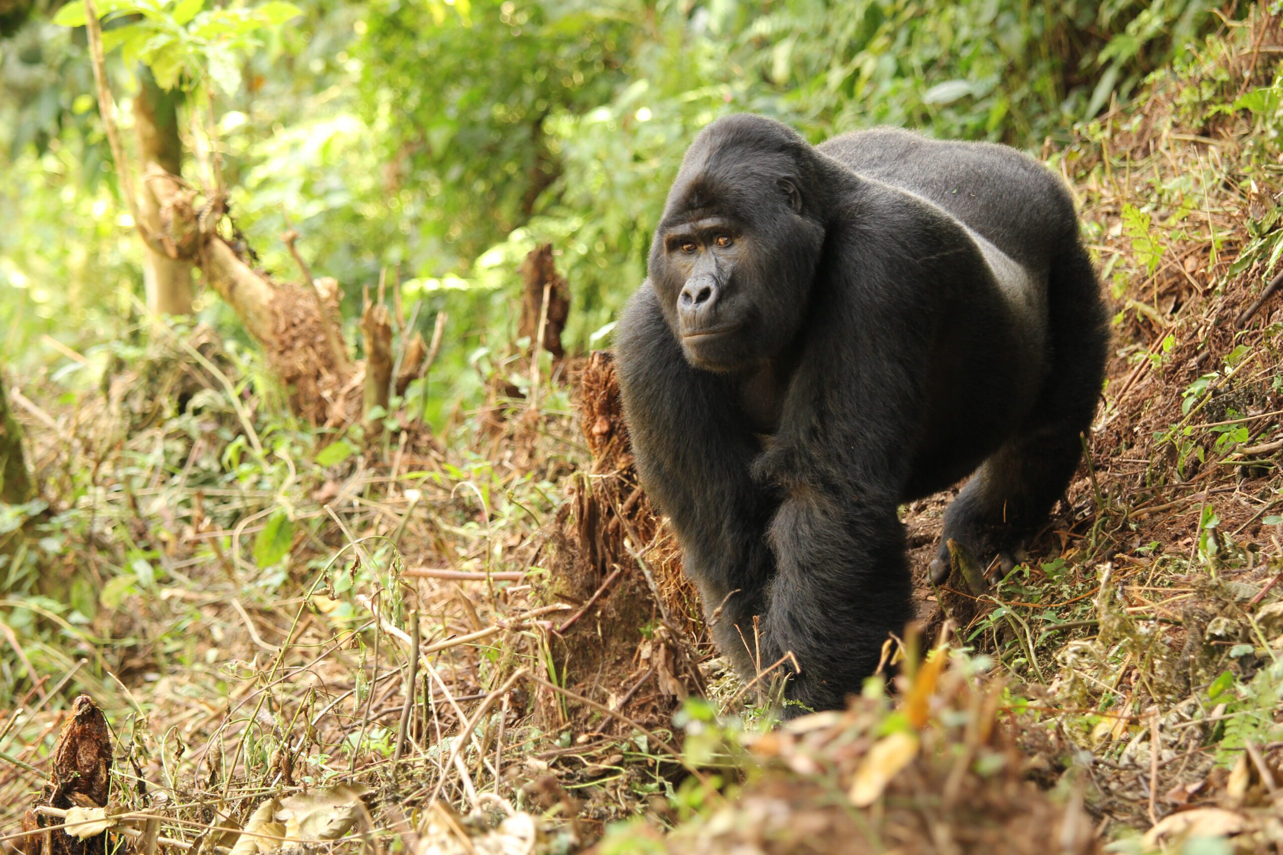 while on our best Uganda safari view Gorilla Bwindi Impenetrable Forrest Uganda Safari