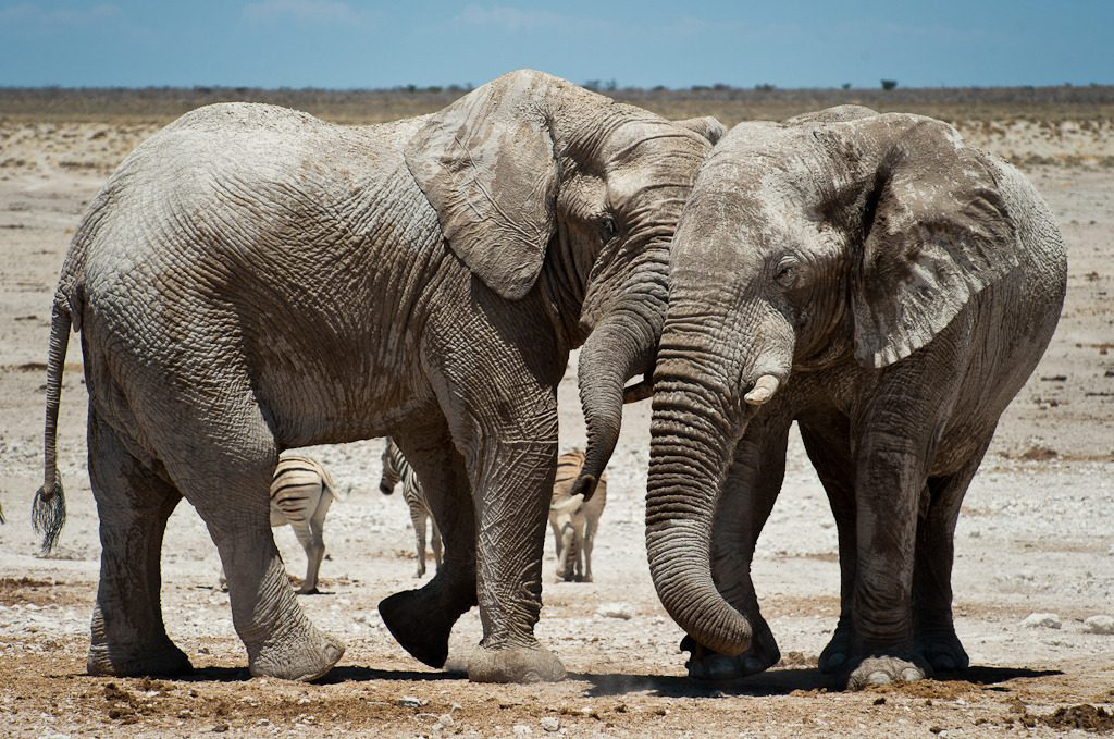 two elephants in the desert seen on our best Namibia safari