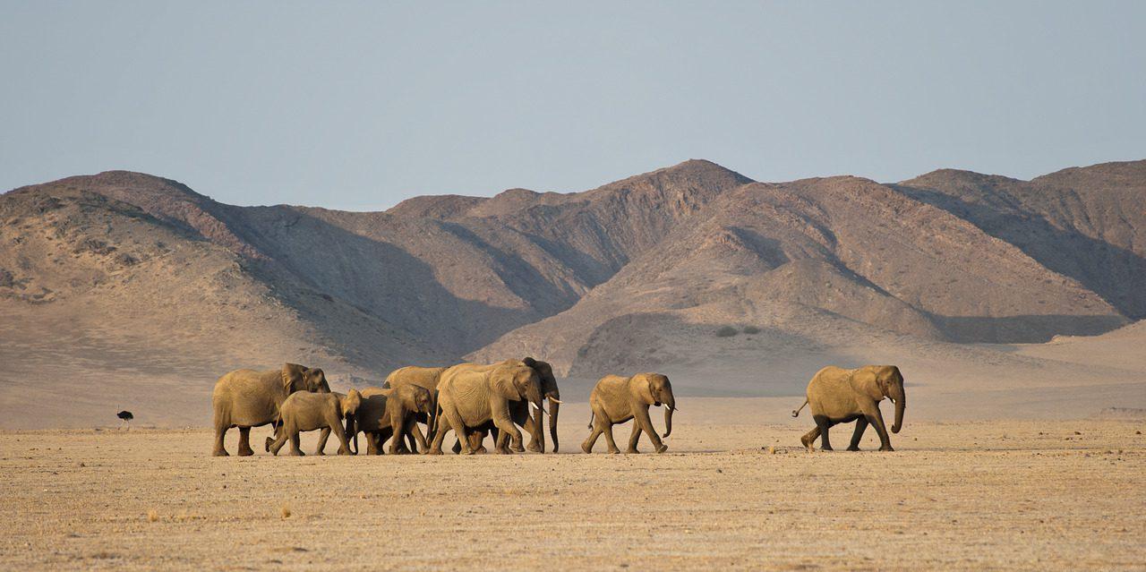 Desert adapted elephants in Damaraland