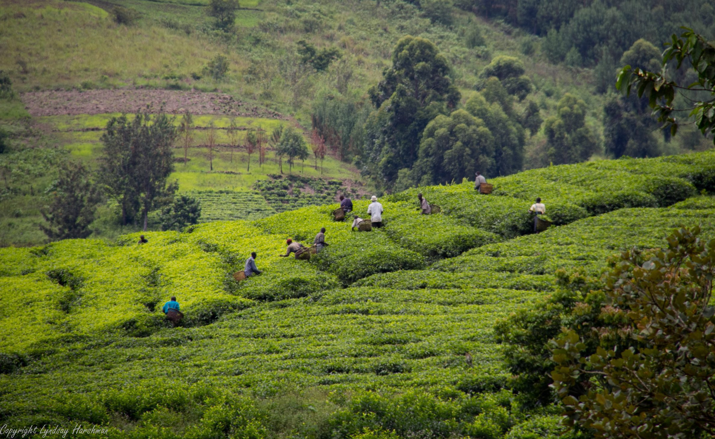 tea plantation seen on luxury Uganda safari