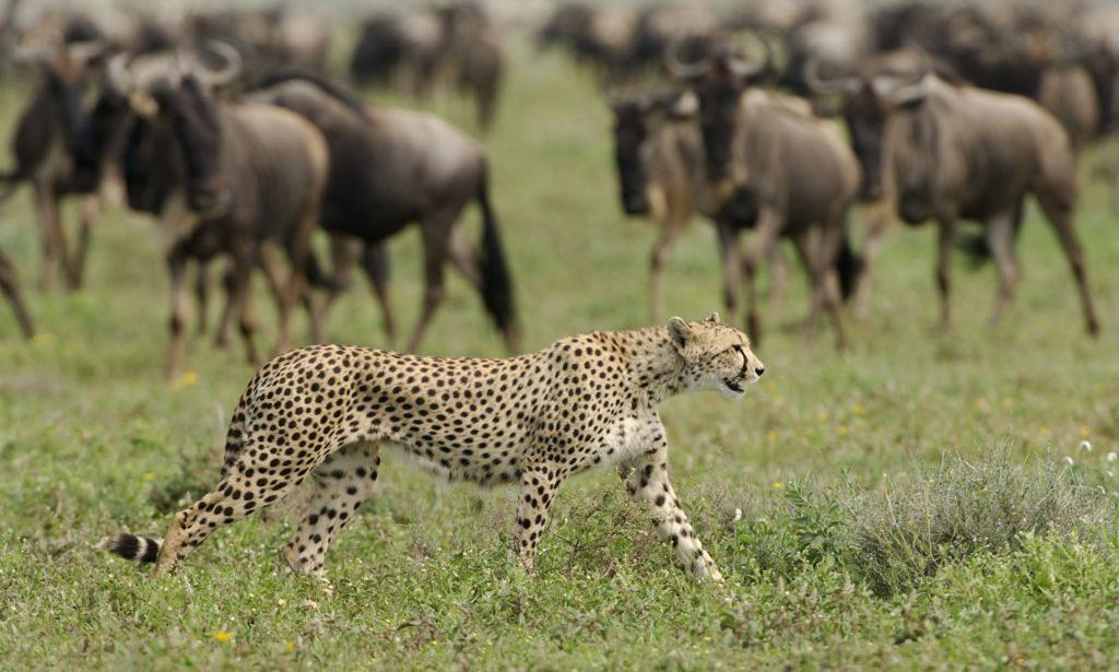 cheetah walking in the short grass in front of nervous wildebeest