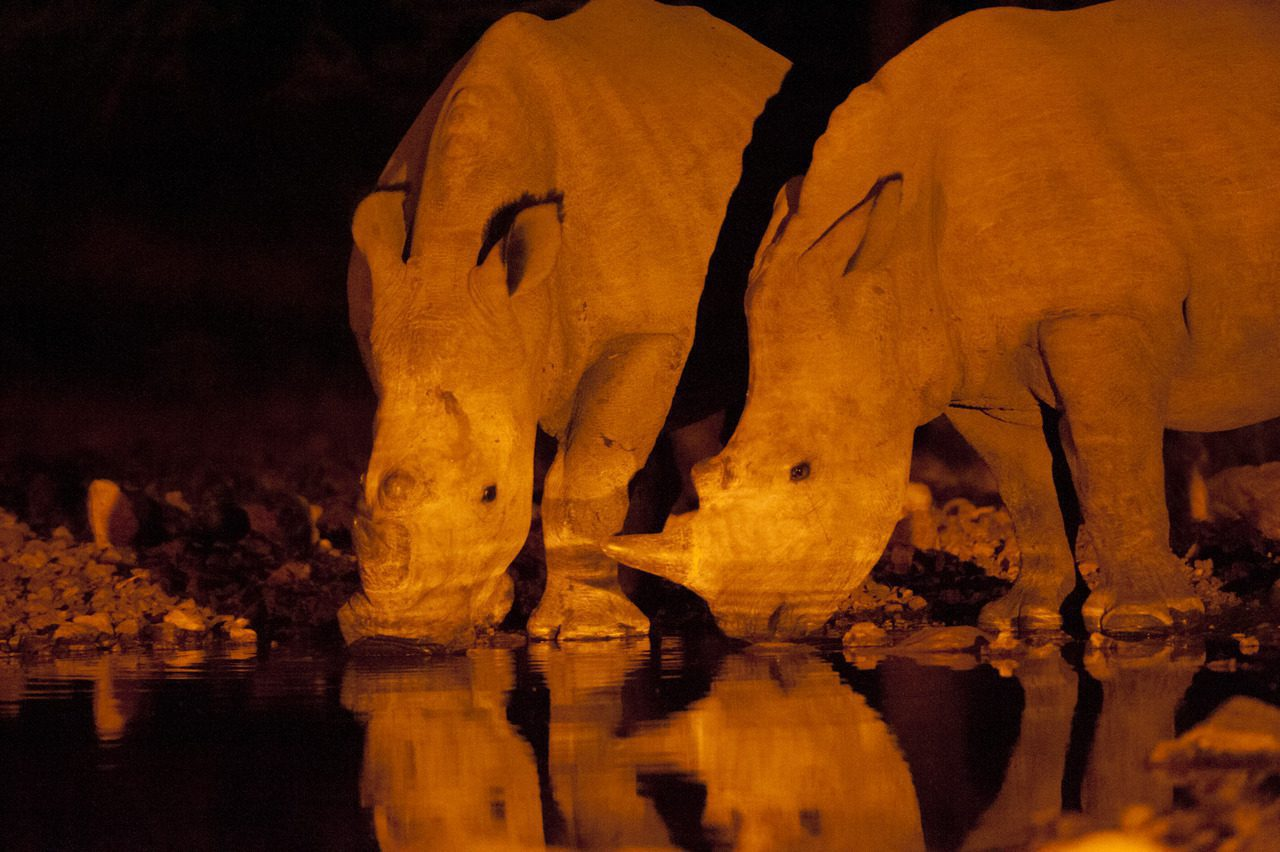 Rhino drinking from waterhole in Etosha National Park