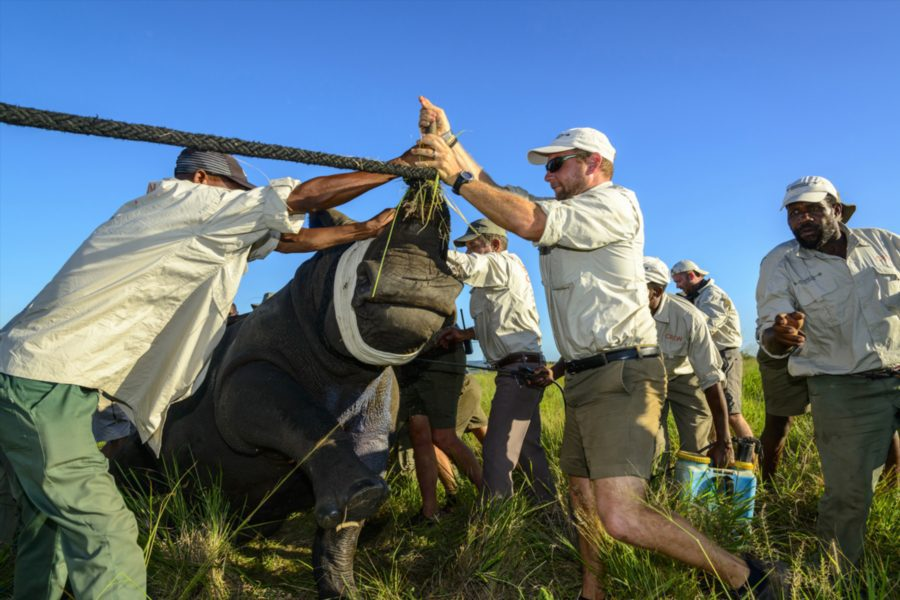 conservationists working on phinda rhino darting on a conservation safari