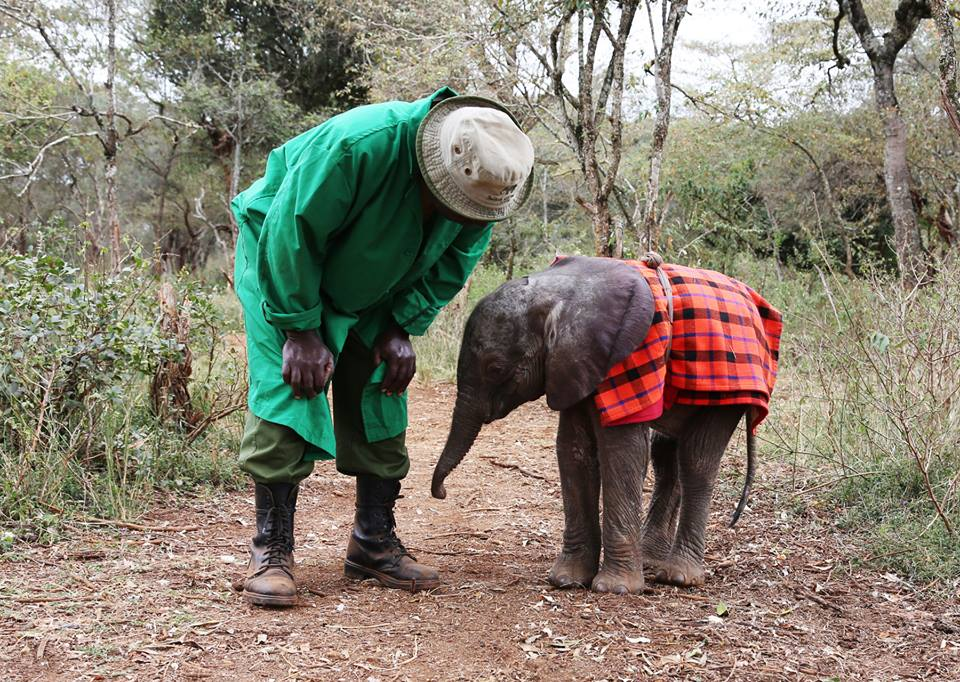 man in a green jacket bending down to interact with a baby elephant covered in a Maasai blanket on an elephant interaction safari