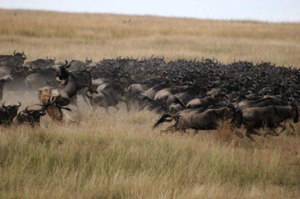 Lion hunts a wildebeest in Kenya