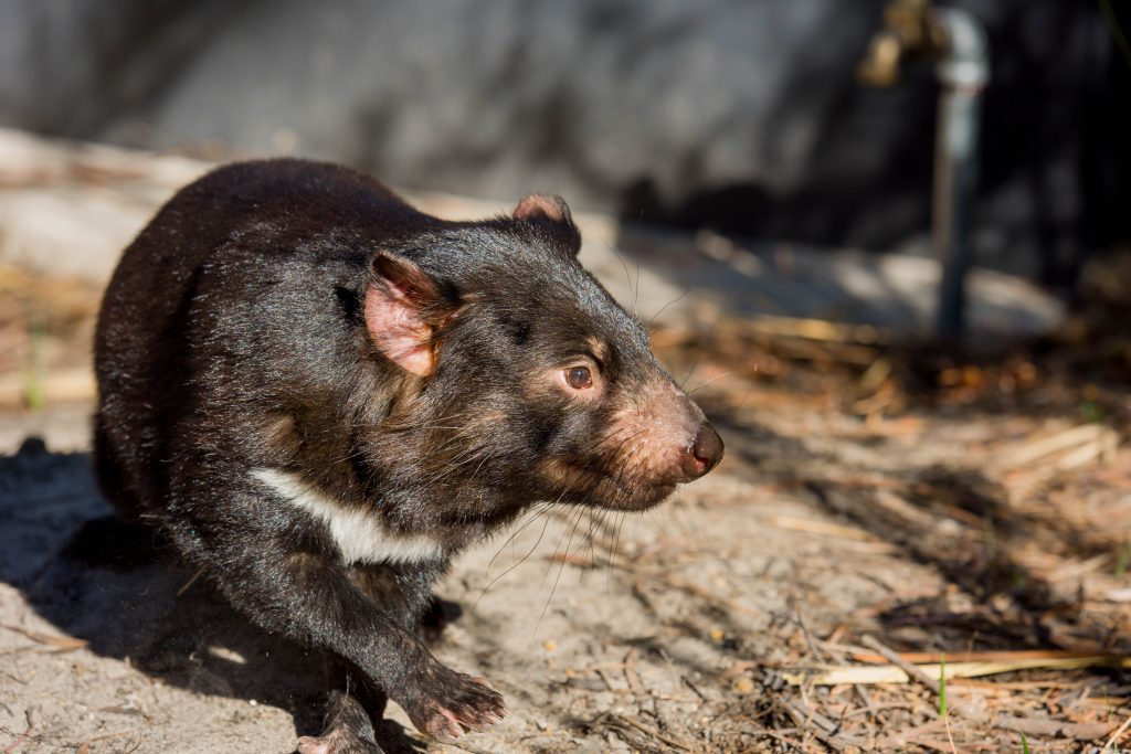 Close up photo of a Tasmanian Devil looking to the side