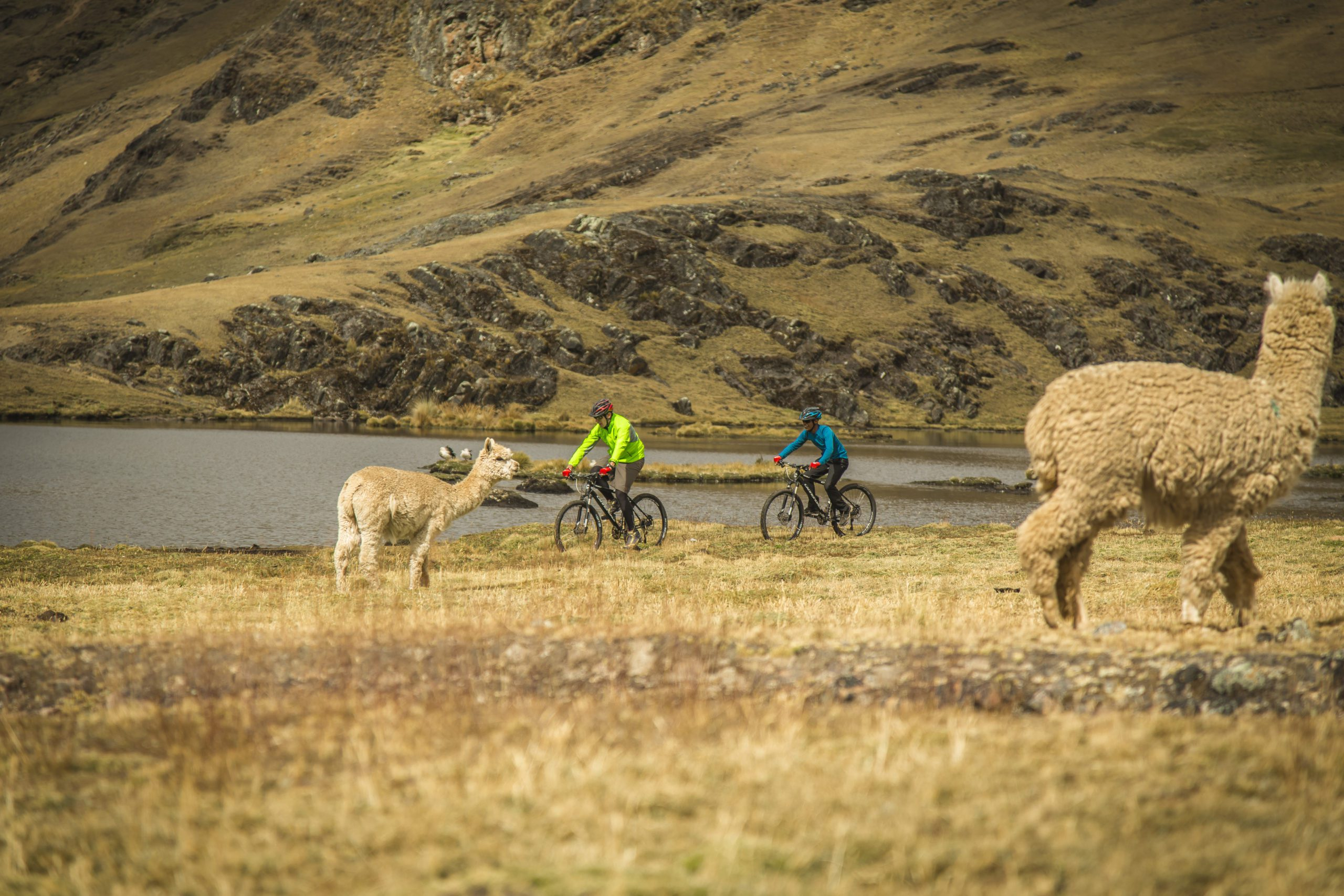 Peru biking through the countryside with alpacas