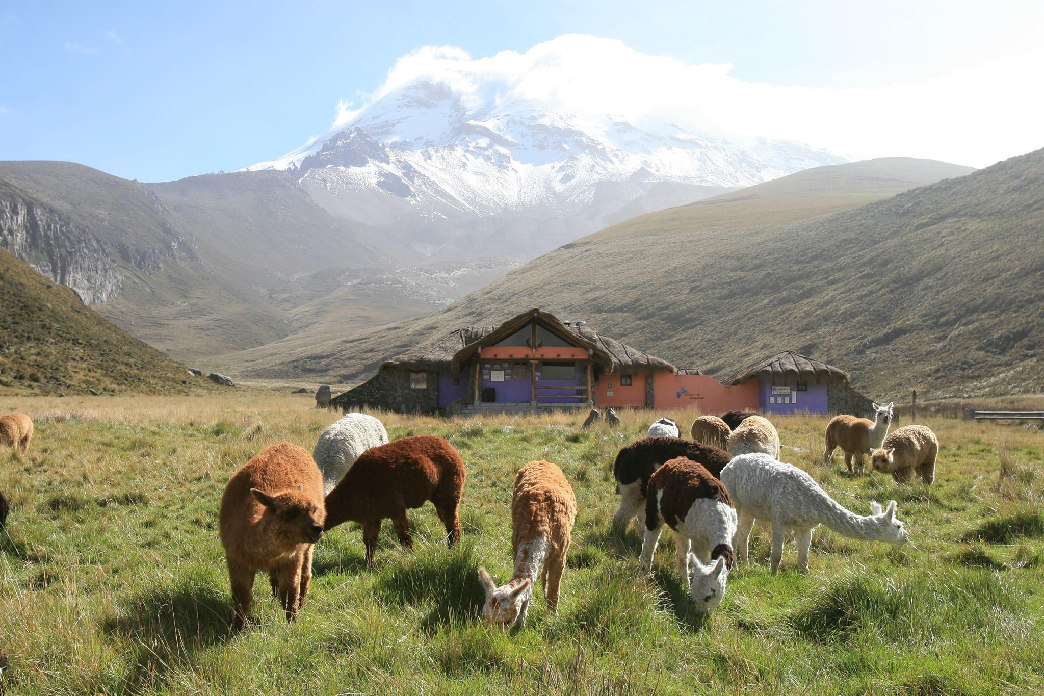 Lamas near Chimborazo Volcano in Highalnds