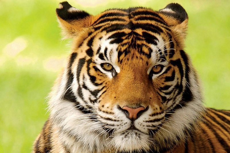 closeup of a tiger with a blurred background
