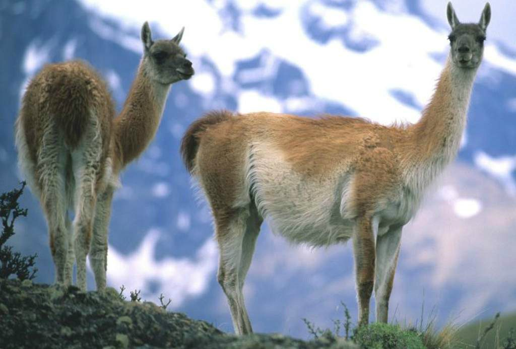 Two guanacos standing next to each other in Patagonia with mountains looming behind
