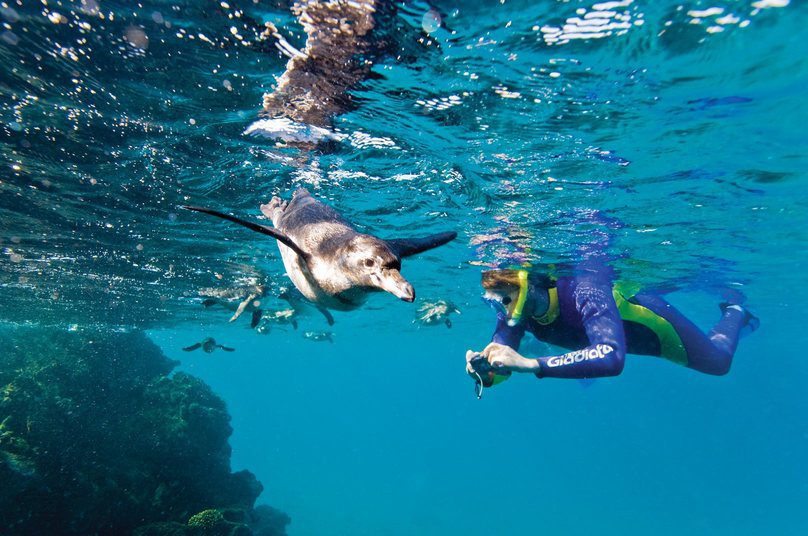 Penguin and a snorkeler in Galapagos