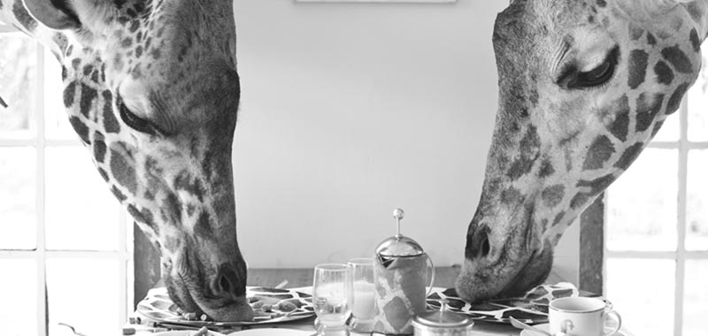 two giraffes reaching their heads through a window to eat from a breakfast table