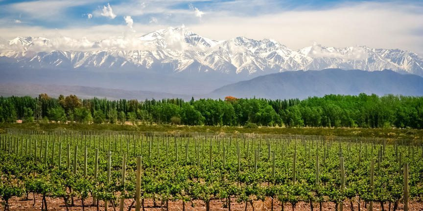Lush, green wine vines lined with the Andes Mountains in the back drop, covered with snow, seen on Argentina safari