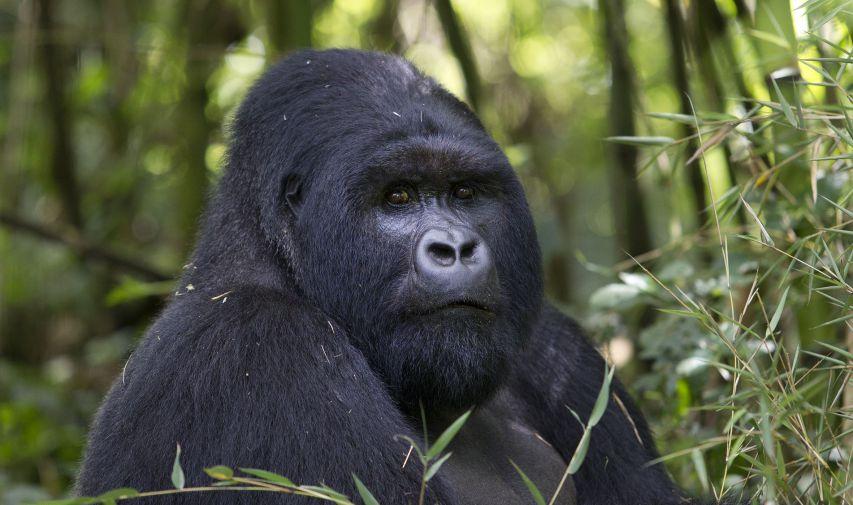 close up of gorilla on a gorilla trek