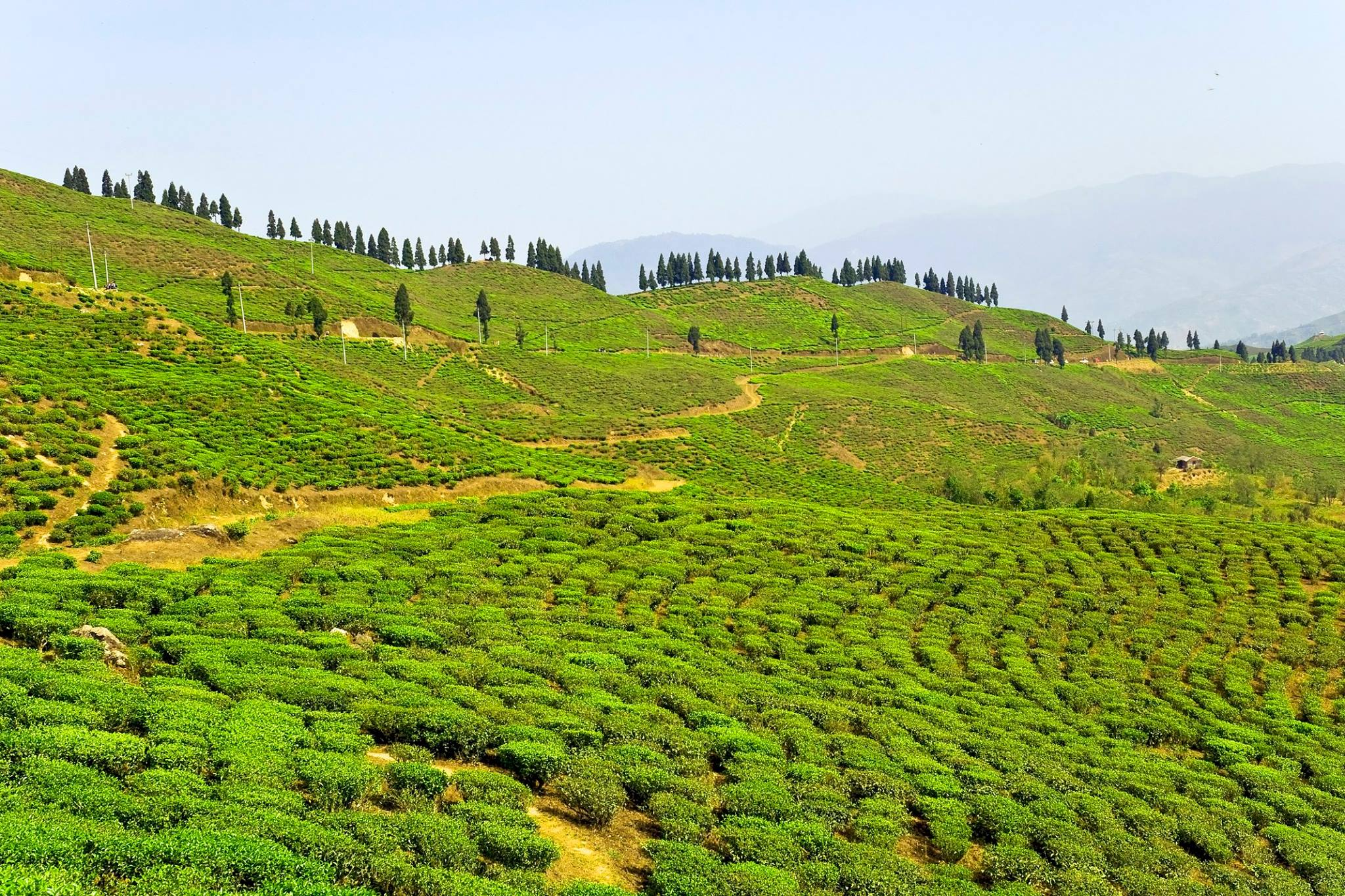 lush green tea plantation with dirt paths and trees seen on nepal safari