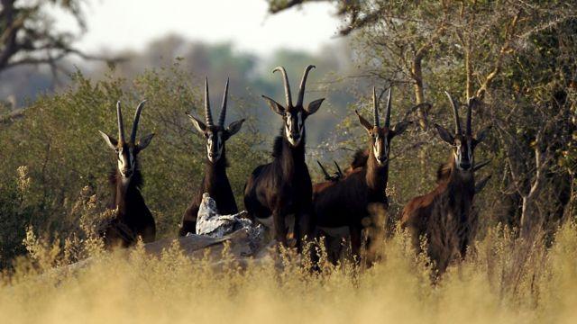 group of sable seen on safari in botswana