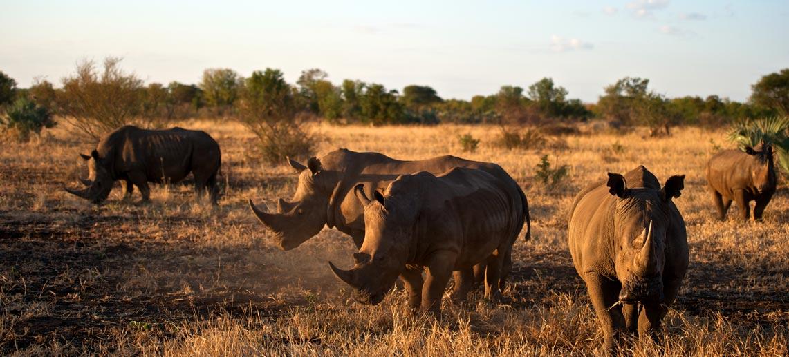 On safari in Zimbabwe five rhino in golden light at Singita Pamushana