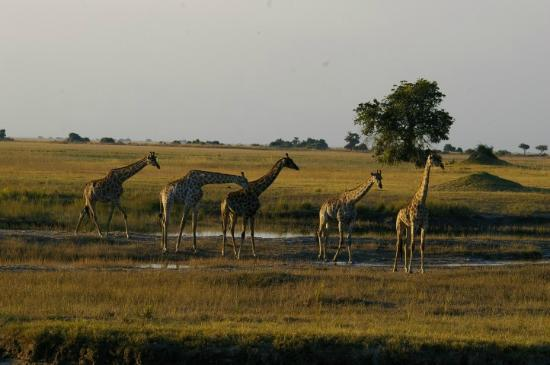 giraffe in the water in Chobe