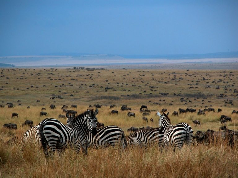 herd of zebra overlooking the migration from Serian Camp