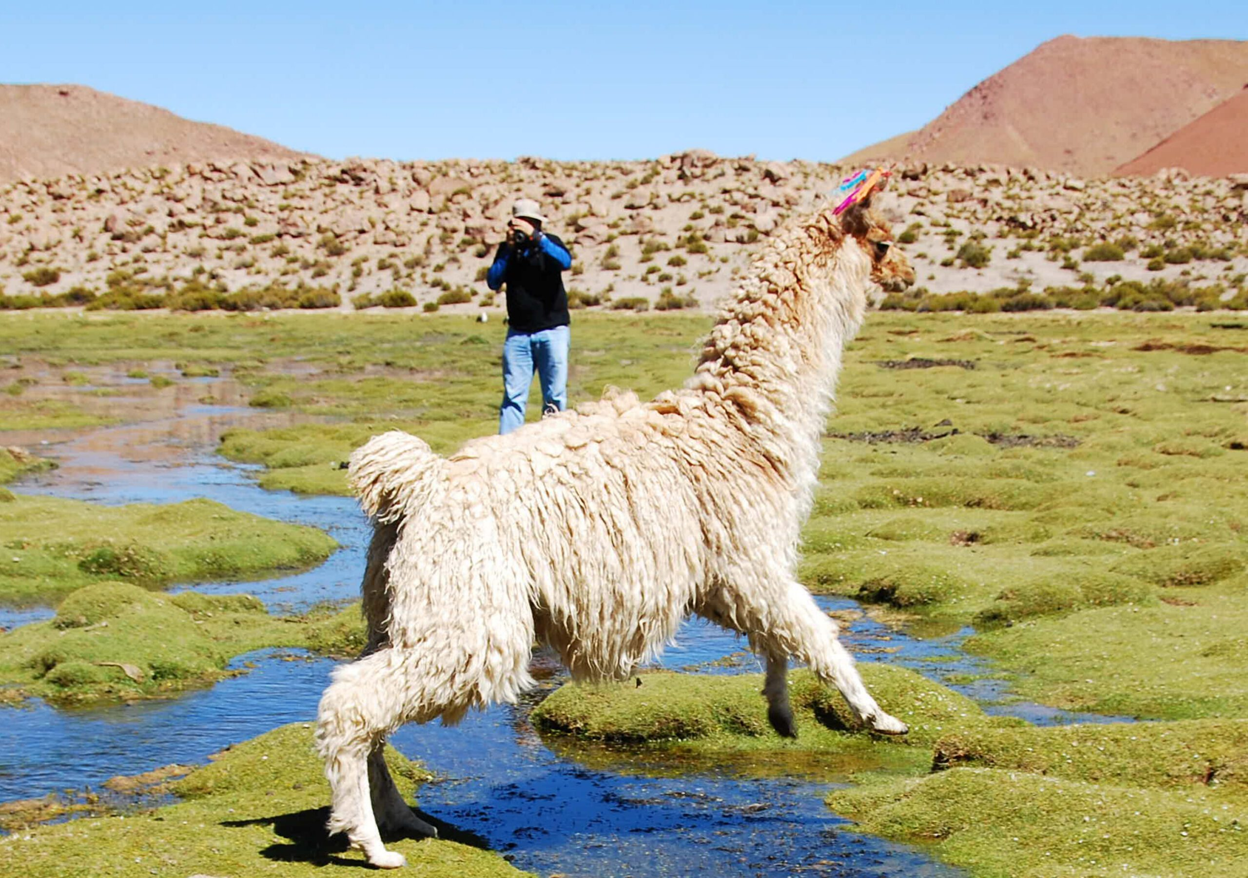 man photographing a llama in Atacama seen on this Peru trip