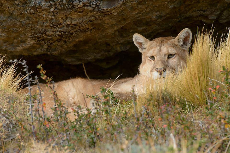 mountain lion laying in the grass under rocks