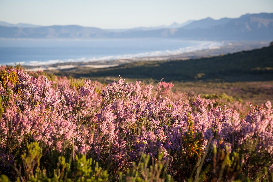 field of pink flowers with the ocean in the background on a floral safari at Grootbos