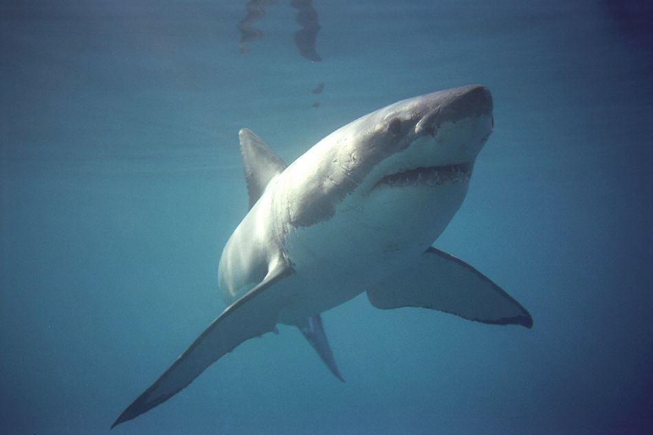 great white shark swimming under water seen on cage diving safari