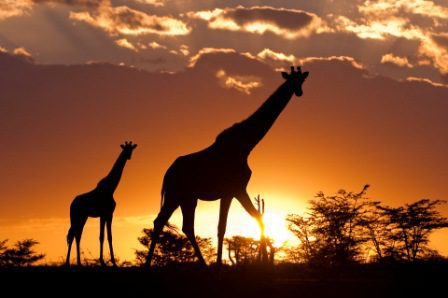 two giraffe walking across the Maasai Mara at sunset