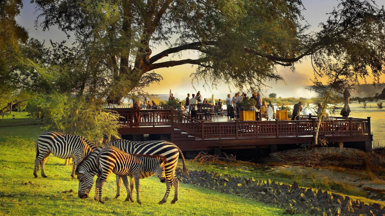 zebra eating grass in front of the deck at the royal livingstone