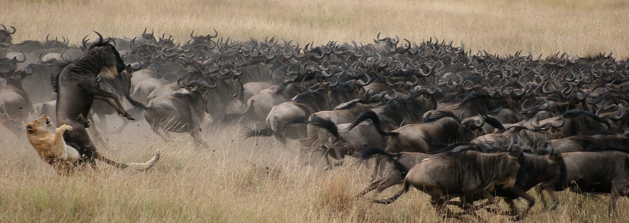 lion hunting a herd of wildebeest in the brown grass